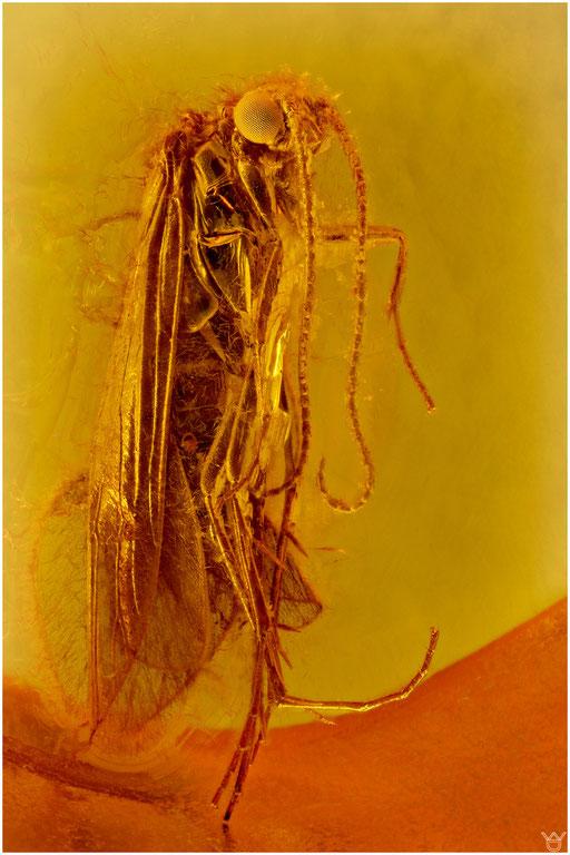 38. Trichoptera, Köcherfliege, Baltic Amber