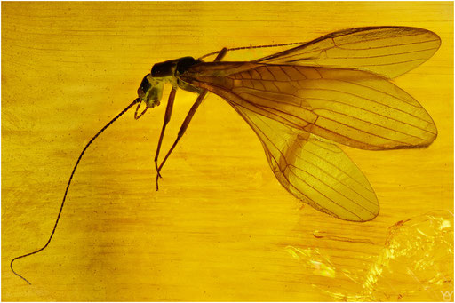 345. Plecoptera, Steinfliege, Baltic Amber