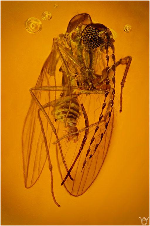 319. Nematocera, Mücke, Baltic Amber
