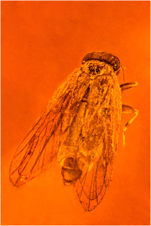 255. Psocoptera, Staublaus, Dominican Amber
