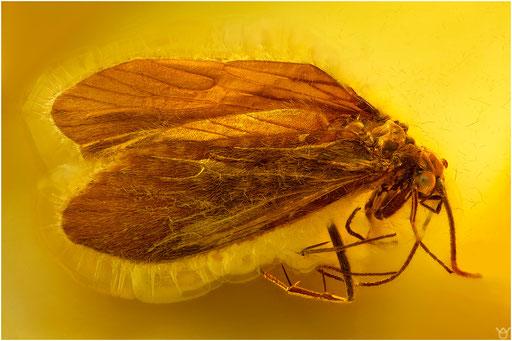424. Trichoptera, Köcherfliege, Baltic Amber