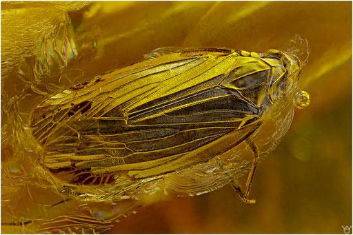 318. Cicadina, Zikade, Baltic Amber