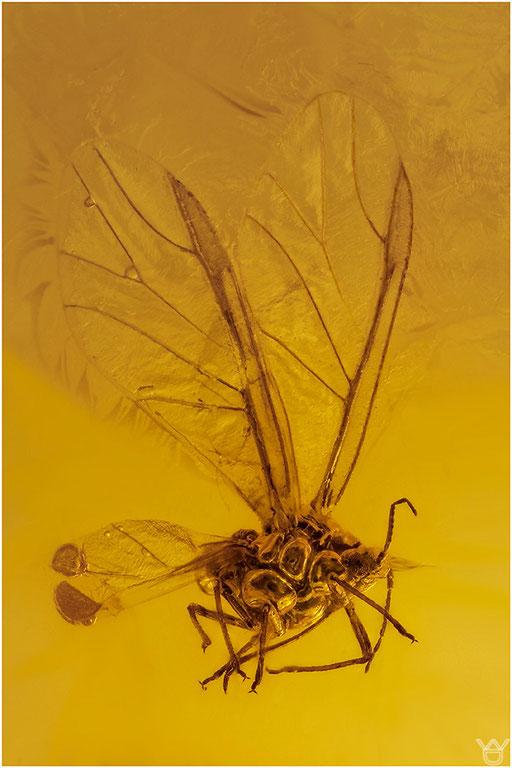 457. Aphidoidea, Blattlaus, Dominican Amber