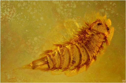 301. Polyxenus, Pinselfüßer, Baltic Amber