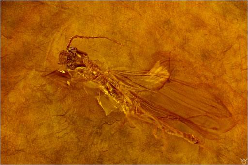 461. Embioptera, Tarsenspinner, Dominican Amber