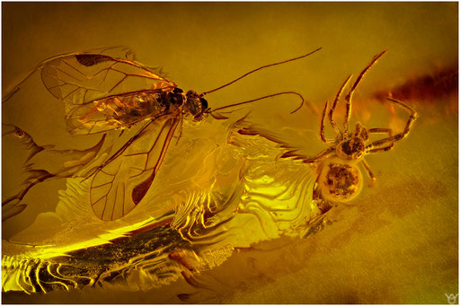27. Psocoptera, Staublaus, Araneae, Spinne, Baltic Amber