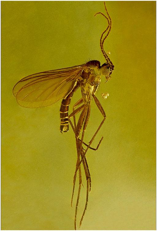 223. Sciaridae, Trauermücke, Baltic Amber