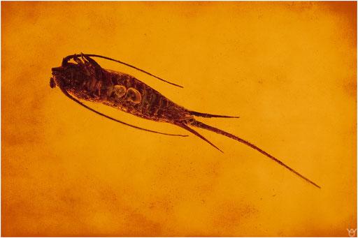 443. Archaeognatha, Felsenspringer, Baltic Amber