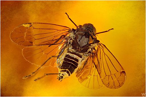 244b. Cicadina, Zikade, Dominican Amber