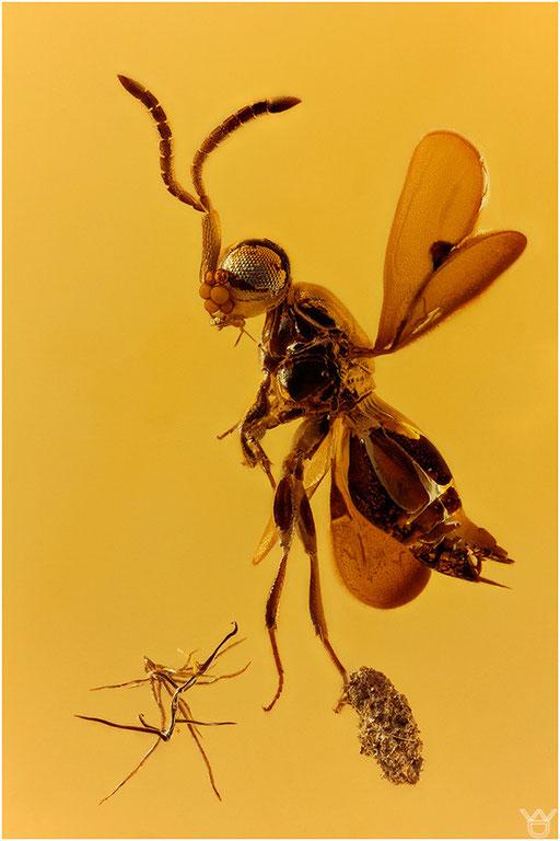 289. Hymenoptera, Wespe, Baltic Amber