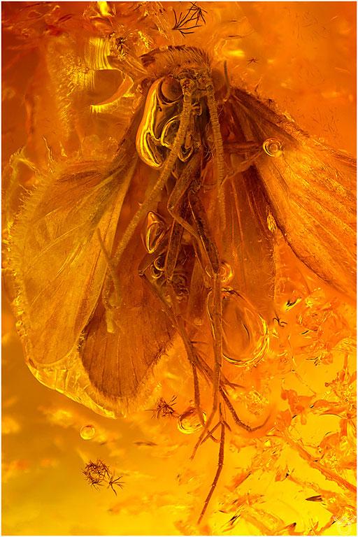 268. Trichoptera, Köcherfliege, Baltic Amber