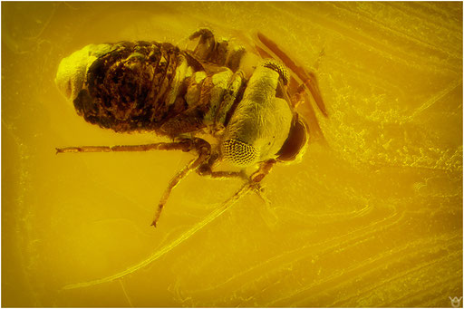 168. Psocoptera, Staublaus, Baltic Amber