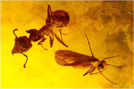 333. Formicidae, Ameise, Nematocera, Mücke, Baltic Amber