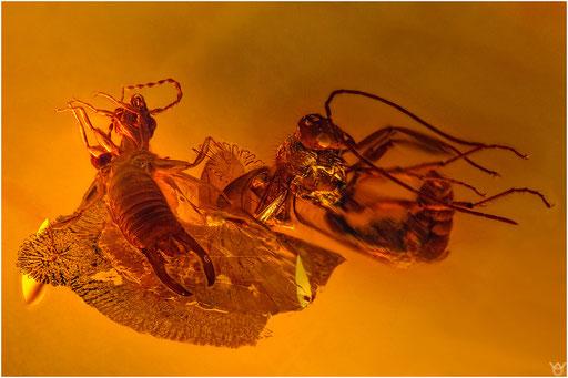 304. Dermaptera, Ohrwurm, Formicidae, Ameise, Baltic Amber