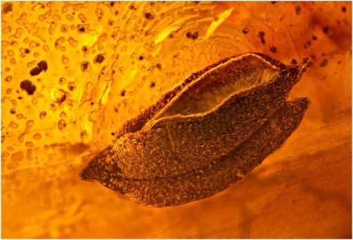 7045, Samenkapsel, Baltic Amber