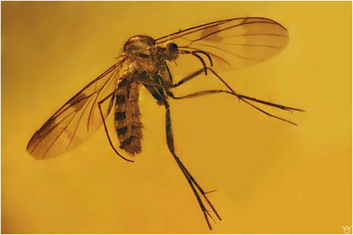 460. Nematocera, Mücke, Mycetophilidae, Pilzmücke, Dominican Amber