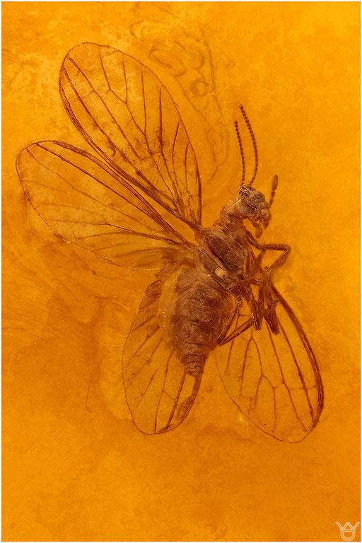 285. Neuroptera, Netzflügler, Baltic Amber