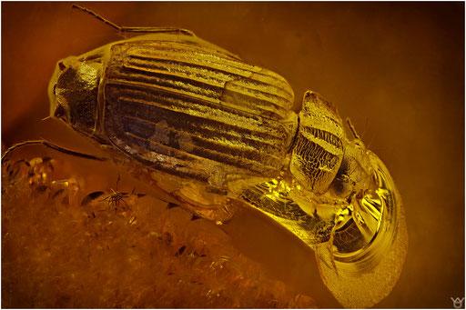 218. Coleoptera, Käfer, Baltic Amber