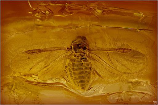 173. Aphidina, Blattlaus, Baltic Amber