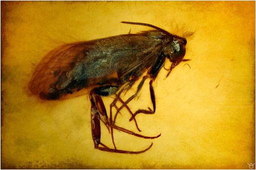 199. Lepidoptera, Schetterling, Burmese Amber