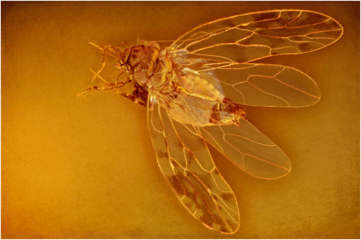 240. Psocoptera, Staublaus, Dominican Amber
