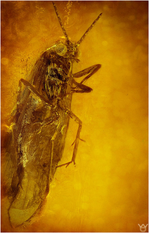 498. Trichoptera, Köcherfliege, Baltic Amber