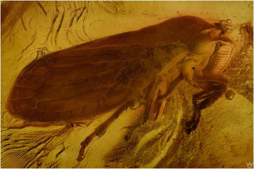 429. Cicadina, Zikade, Baltic Amber