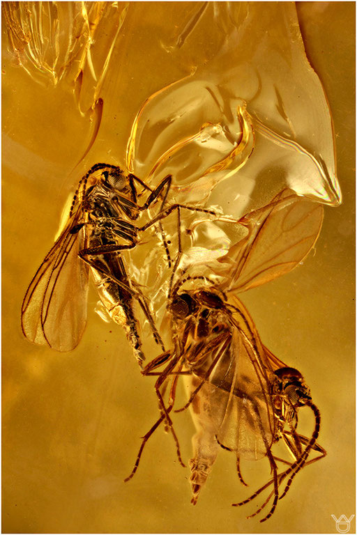 189. Sciaridae, Trauermucke, Baltic Amber