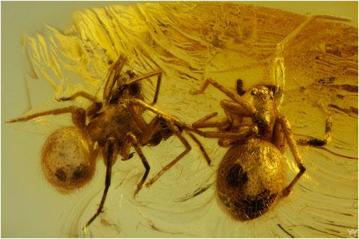271. Araneae, Spinne, Baltic Amber