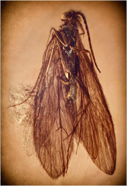 187. Trichoptera, Köcherfliege, Baltic Amber