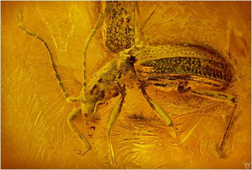 246. Coleoptera, Käfer, Baltic Amber