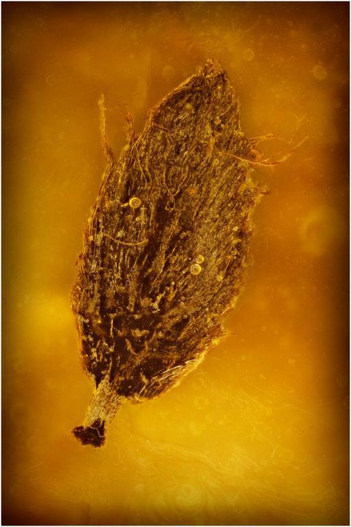 7215, Baltic Amber
