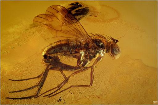 282. Brachycera, Fliege, Baltic Amber