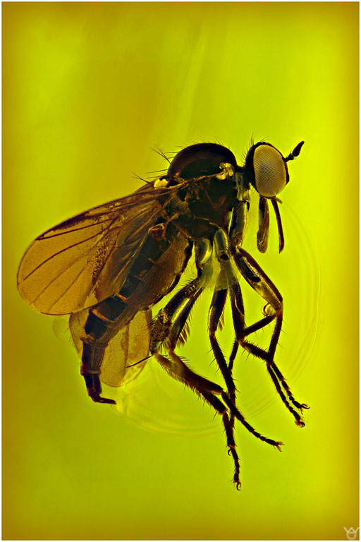 24. Empididae, Tanzfliege, cf. Rhamphomya, Baltic Amber