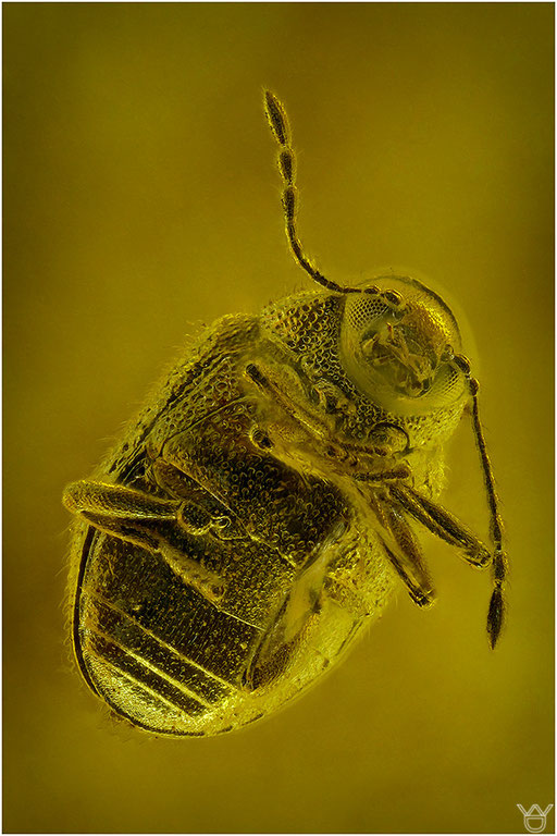 234. Coleoptera, Käfer, Baltic Amber