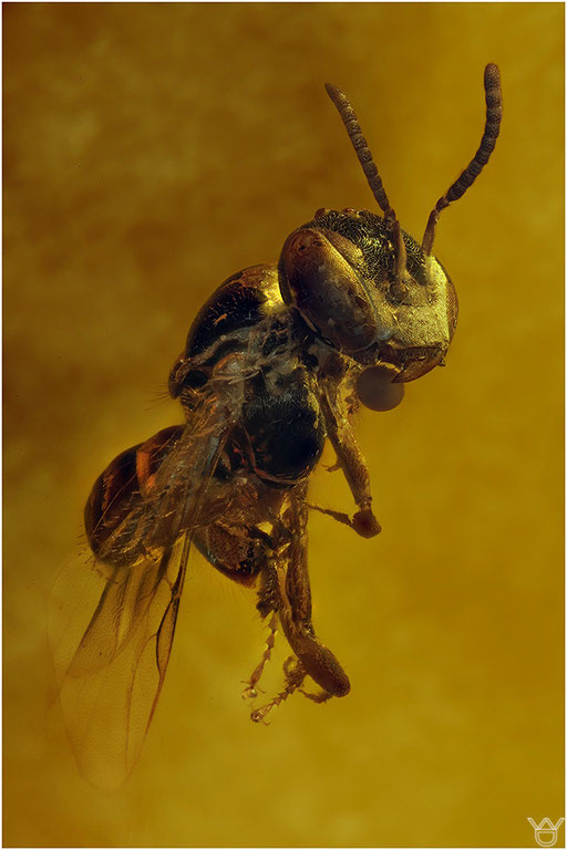 292. Hymenoptera, Bee, Biene, Dominican Amber