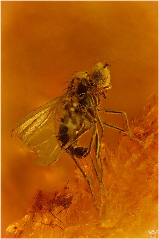 469. Brachycera, Fliege, Baltic Amber