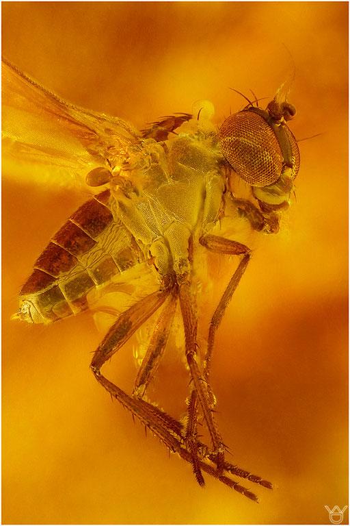 471. Brachycera, Fliege, Baltic Amber