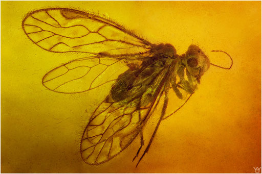 182. Psocoptera, Staublaus, Dominican Amber