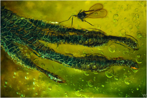560. Lizard, Eidechsenfuss, Dominican Amber