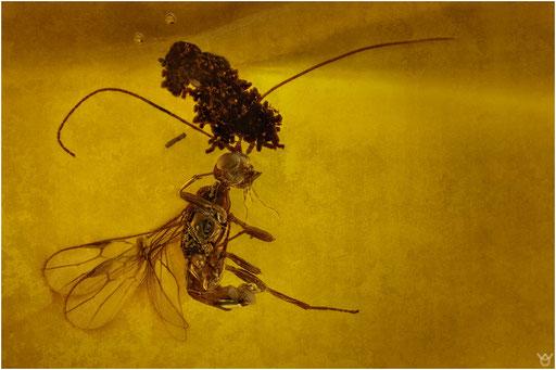 208. Braconidae, Brackwespe, Dominican Amber