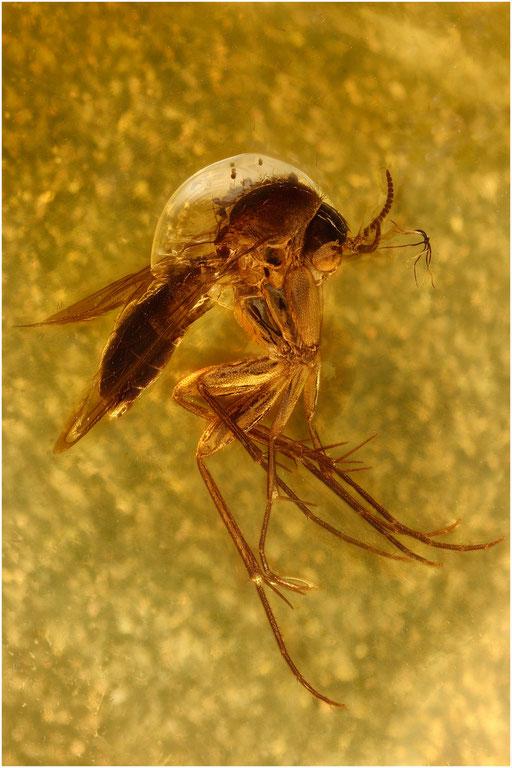 141. Mycetophilidae, Pilzmücke, Baltic Amber