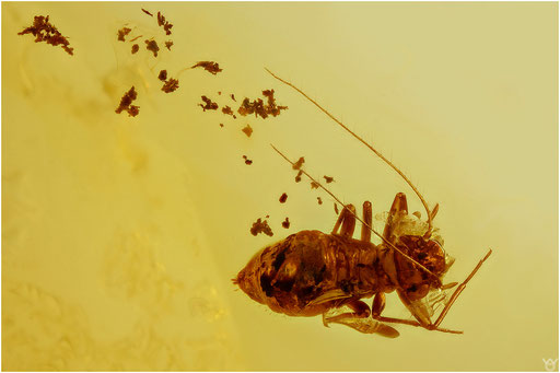 302. Psocoptera, Staublaus, Baltic Amber