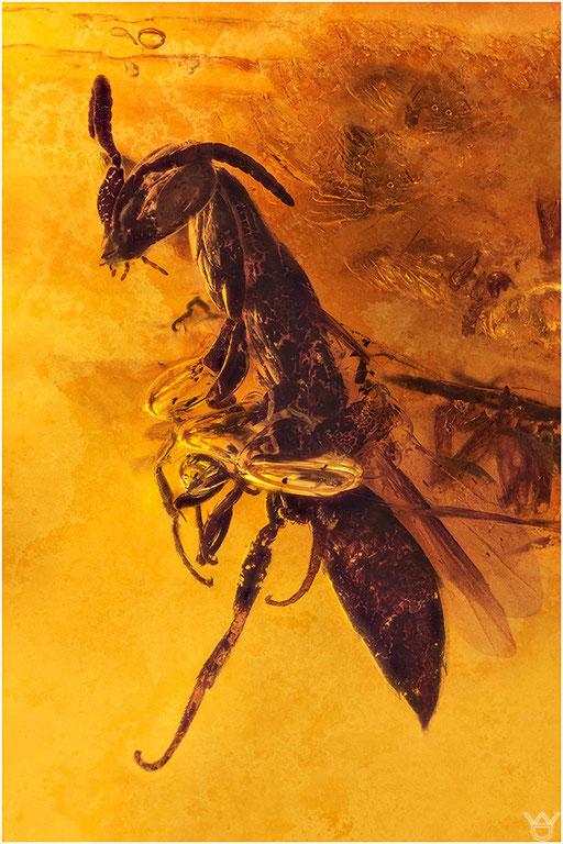 288. Hymenoptera, Wespe, Baltic Amber