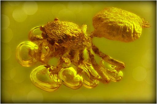 287. Araneae, Spinne, Salticidae, Springspinne, Baltic Amber
