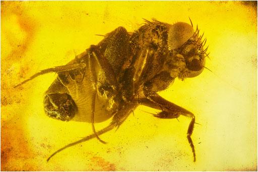 519. Phoridae, Rennfliege, Baltic Amber