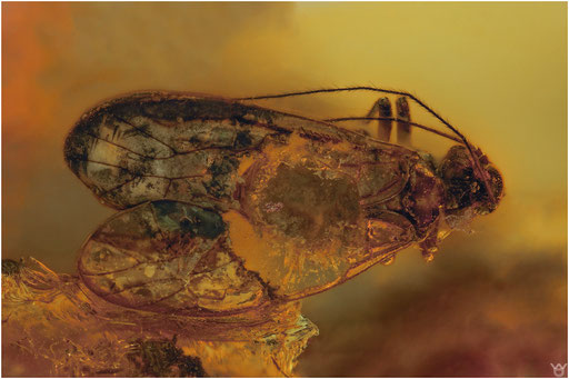 547. Psocoptera, Staublaus, Baltic Amber