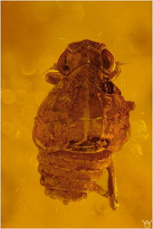 344. Cicadina, Zikade, Baltic Amber