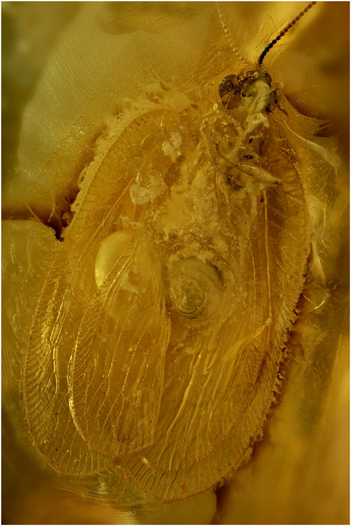 331. Neuroptera, Netzflügler, Baltic Amber