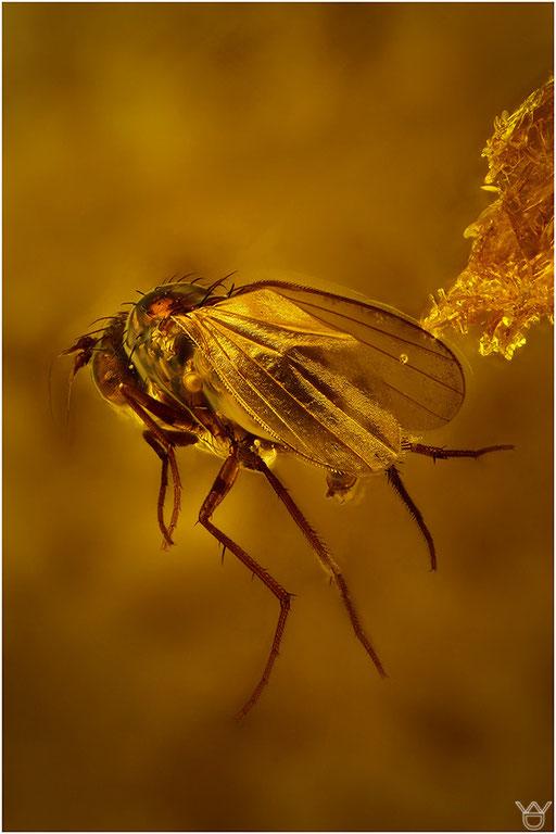 482. Brachycera, Fliege, Baltic Amber